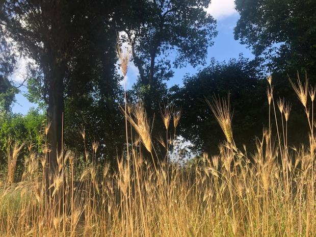 Erbe spontanee Appia antica